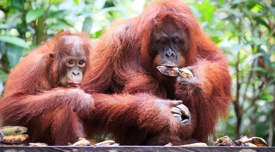 Orangutans at feeding platform in Tanjung Puting