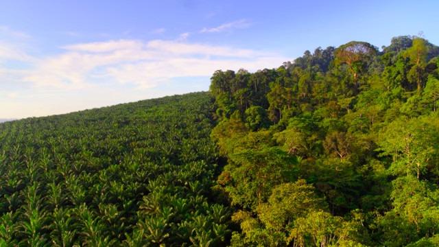 Why Palm Oil Destroys our Rainforest and Kills Orangutans