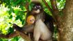 dusky_leaf_monkey