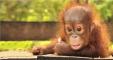 TP - Baby Orangutan