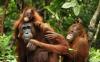 BL-Orangutan-Family-560px
